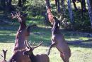 Quality Elk